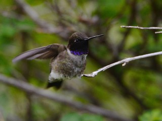 Black-chinned Hummingbird, ML191081621