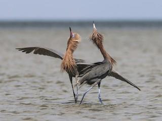 - Reddish Egret