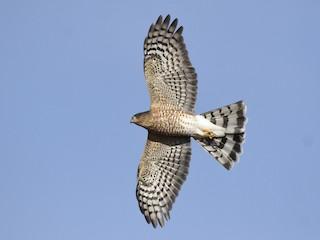 - Sharp-shinned Hawk