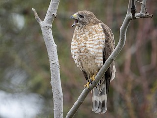 - Broad-winged Hawk