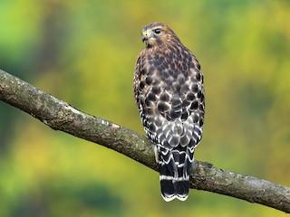 - Red-shouldered Hawk