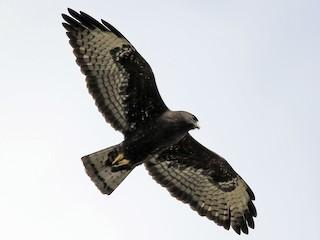 - Short-tailed Hawk