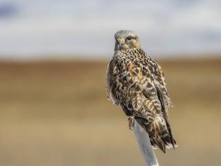 - Rough-legged Hawk