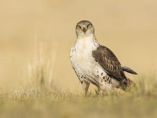 - Ferruginous Hawk