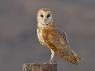 - Barn Owl