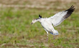 Snow Goose, ML191153641