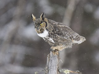 - Great Horned Owl