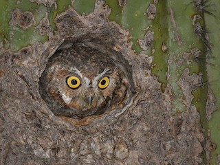 - Elf Owl