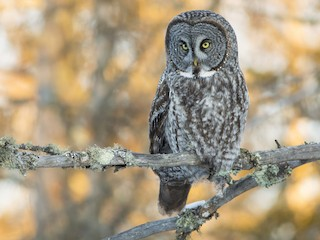 - Great Gray Owl