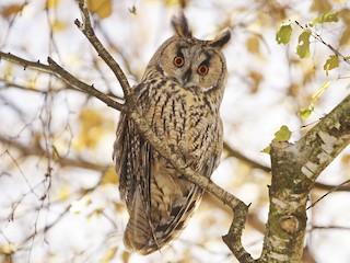- Long-eared Owl