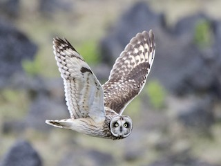- Short-eared Owl
