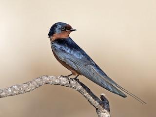 - Barn Swallow