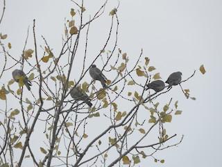 Common Wood-Pigeon