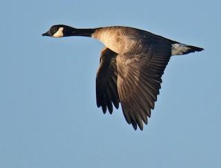 Cackling Goose, ML191377801