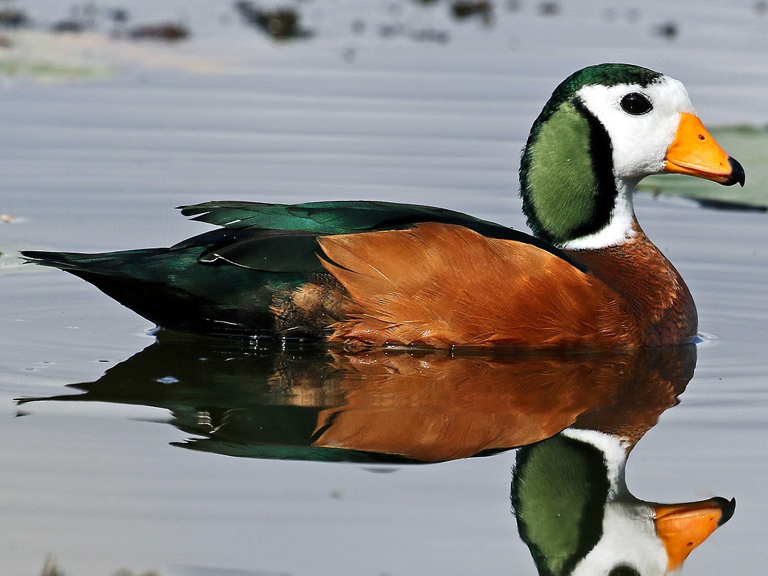 African Pygmy-Goose - Andrew Spencer