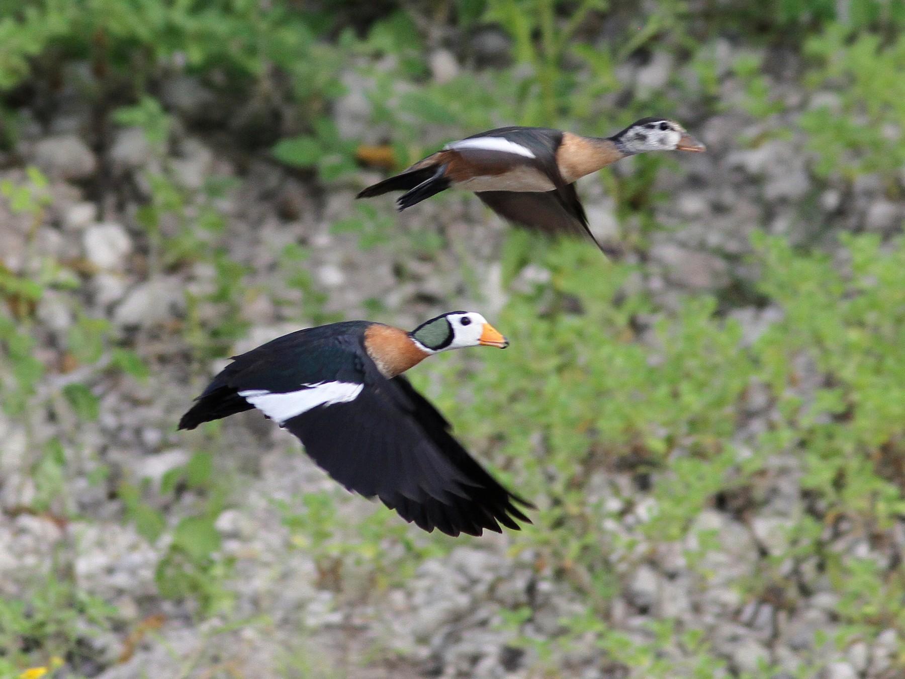 African Pygmy-Goose - Daniel Jauvin