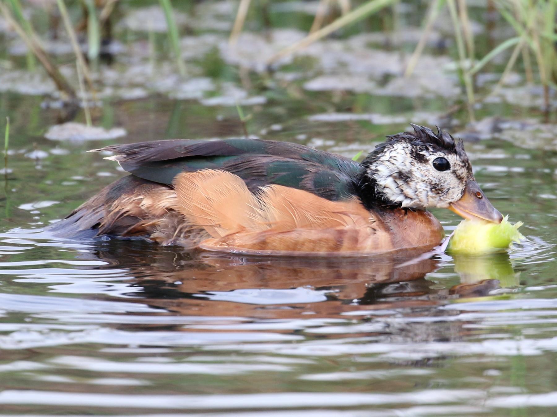 African Pygmy-Goose - Oscar Campbell