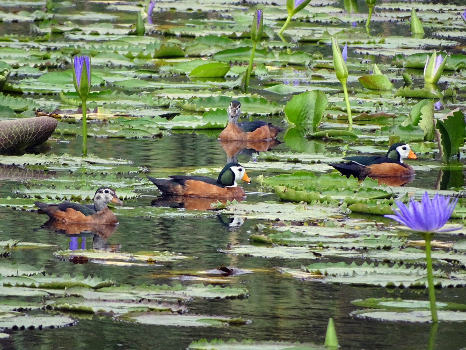 African Pygmy-Goose - Doris  Schaule