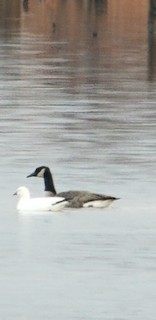 Ross's Goose, ML191385301
