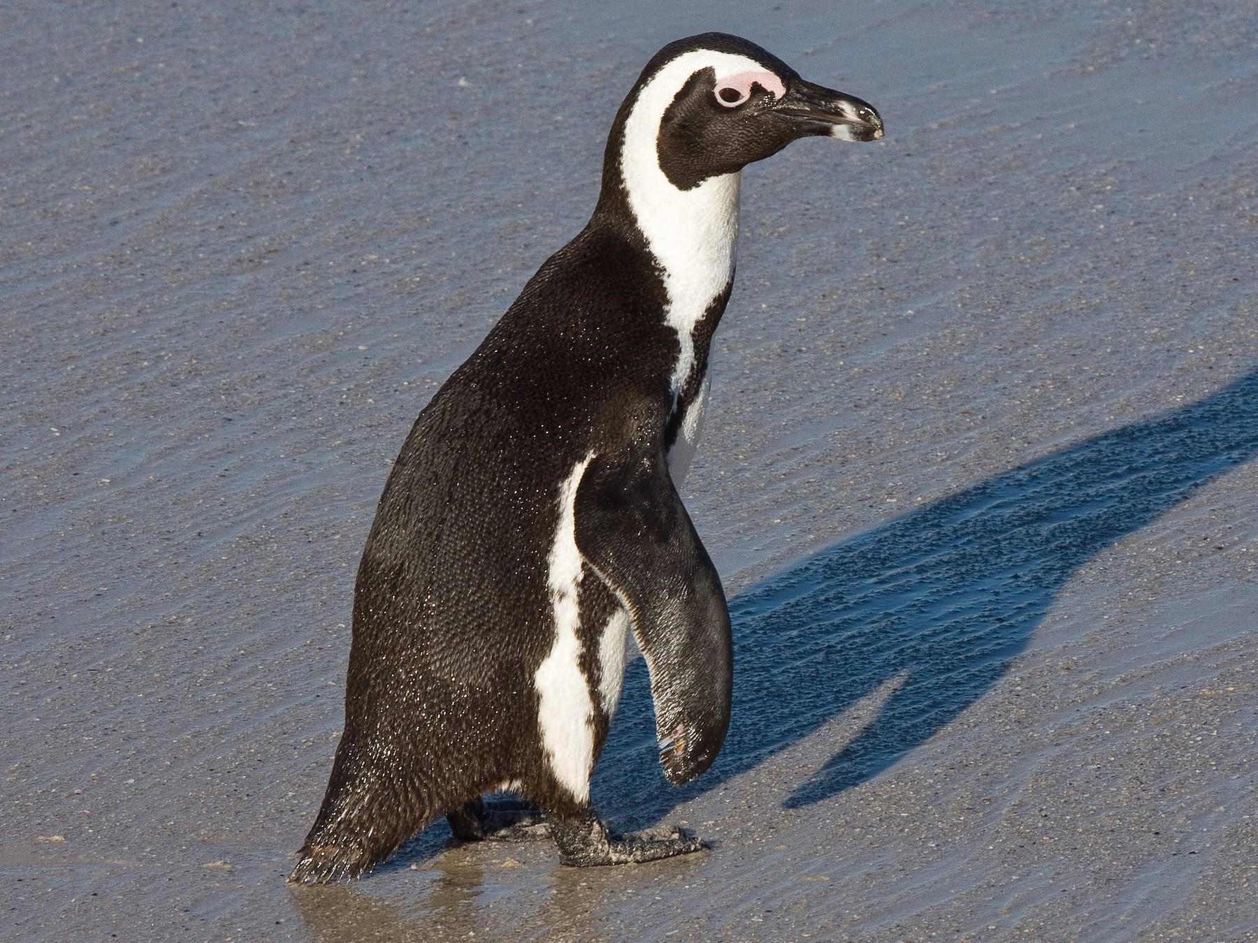 African Penguin - Eric VanderWerf
