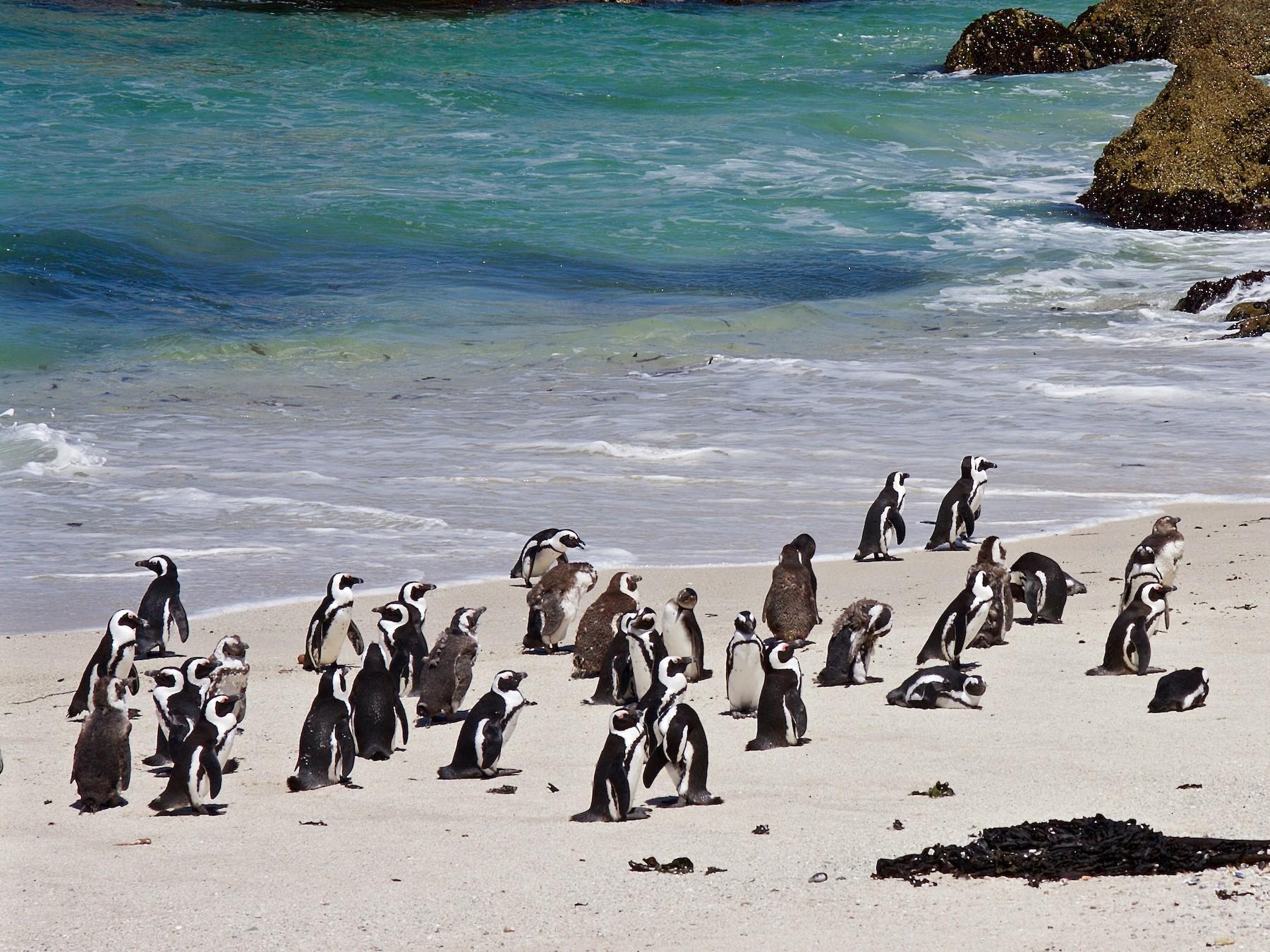 African Penguin - Matt Brady