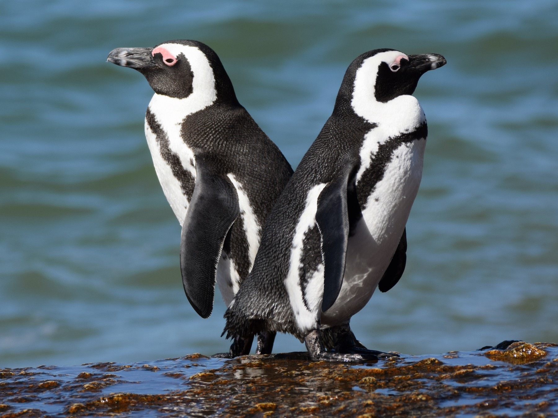 African Penguin - Ryne Rutherford