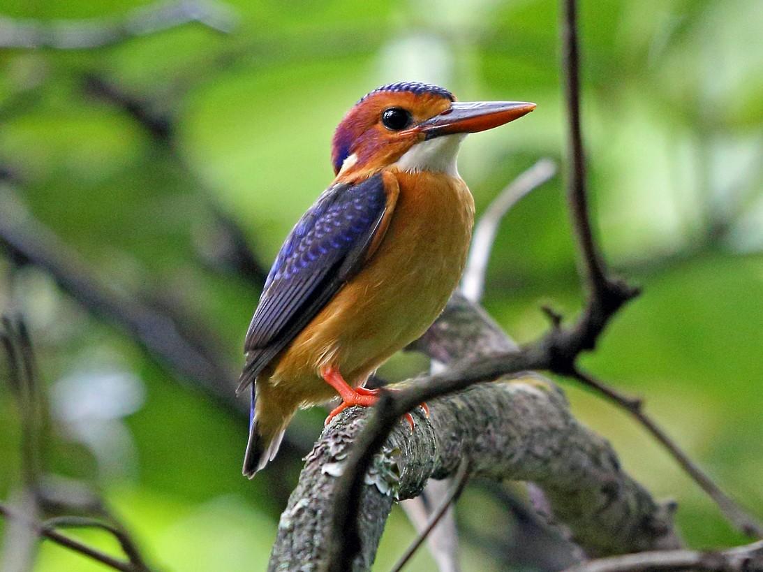 African Pygmy-Kingfisher - Nigel Voaden