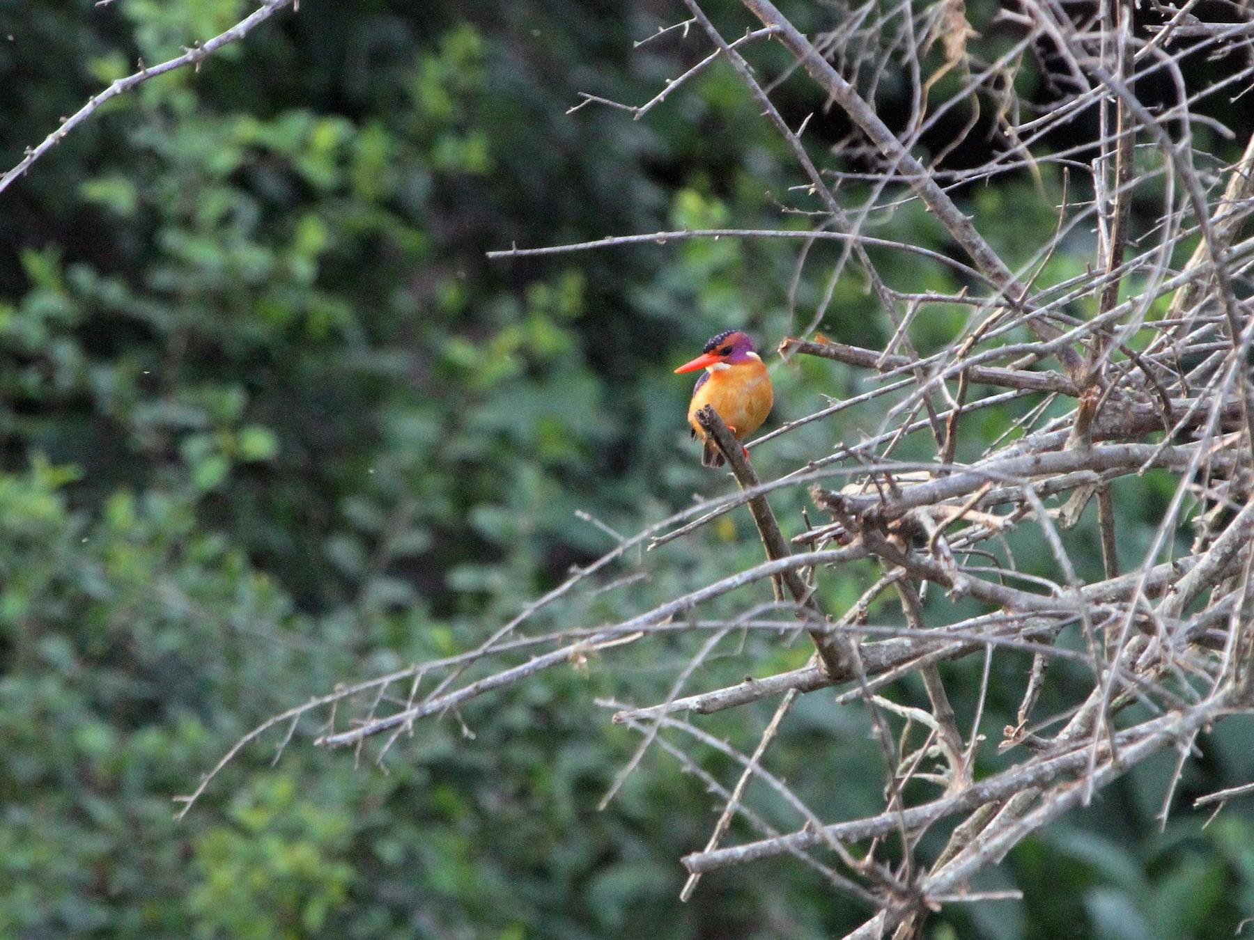 African Pygmy-Kingfisher - Stephen Gast