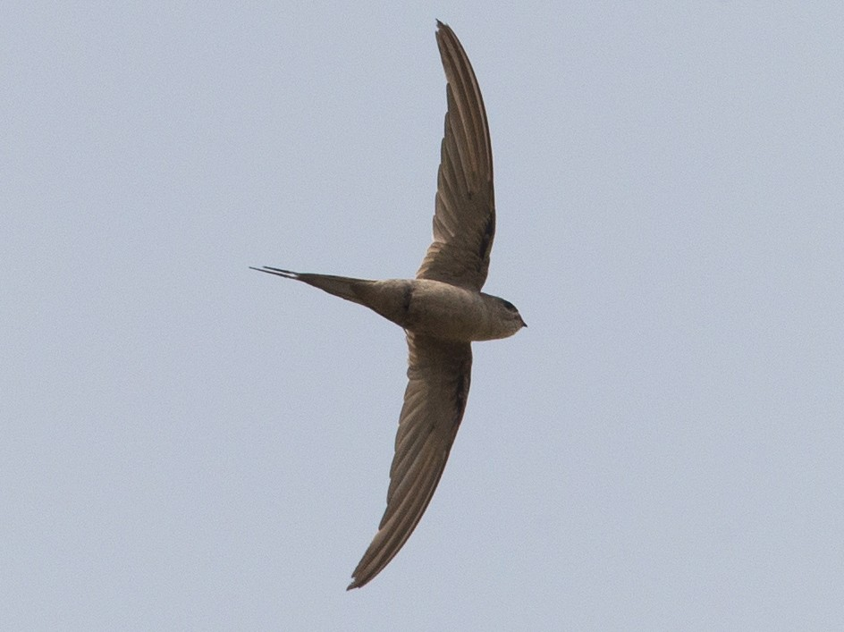 African Palm-Swift - Chris Wood