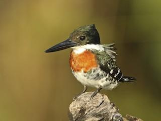 - Green Kingfisher