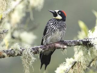 - Acorn Woodpecker