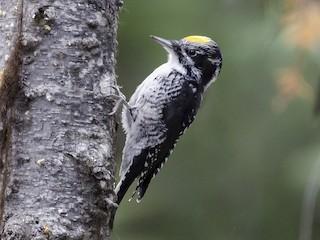 - American Three-toed Woodpecker