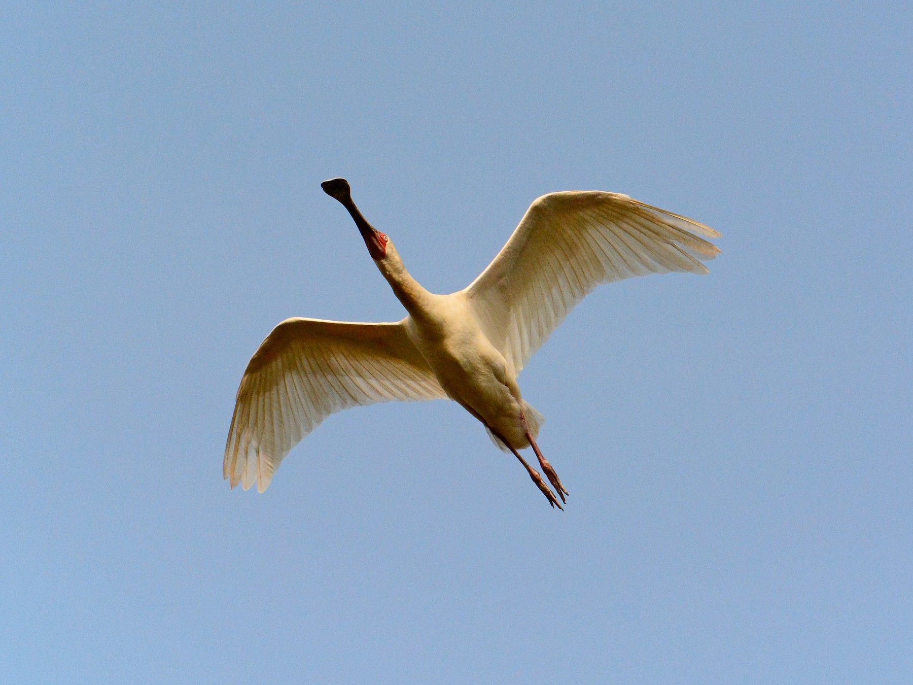 African Spoonbill - James Barber