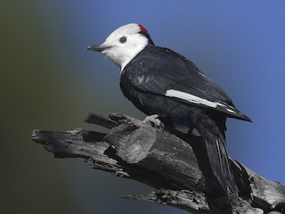 - White-headed Woodpecker