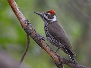 - Arizona Woodpecker