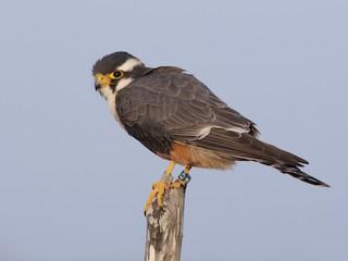 - Aplomado Falcon