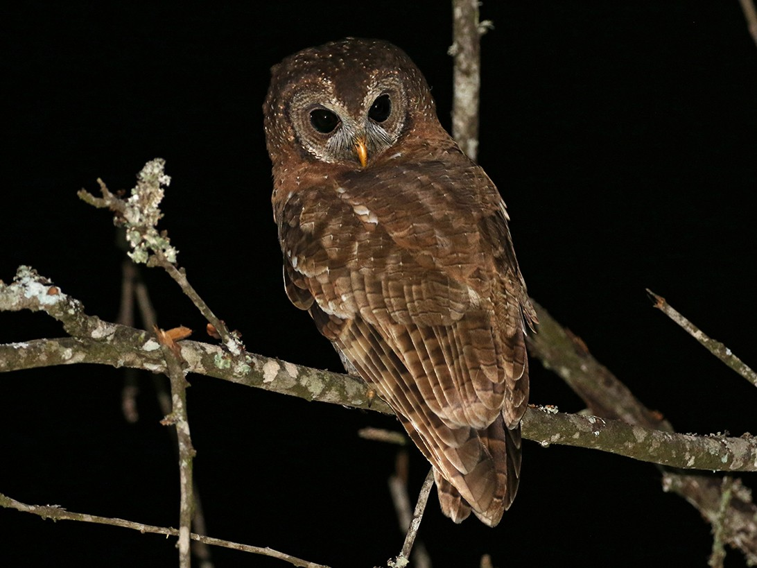 African Wood-Owl - Charley Hesse TROPICAL BIRDING