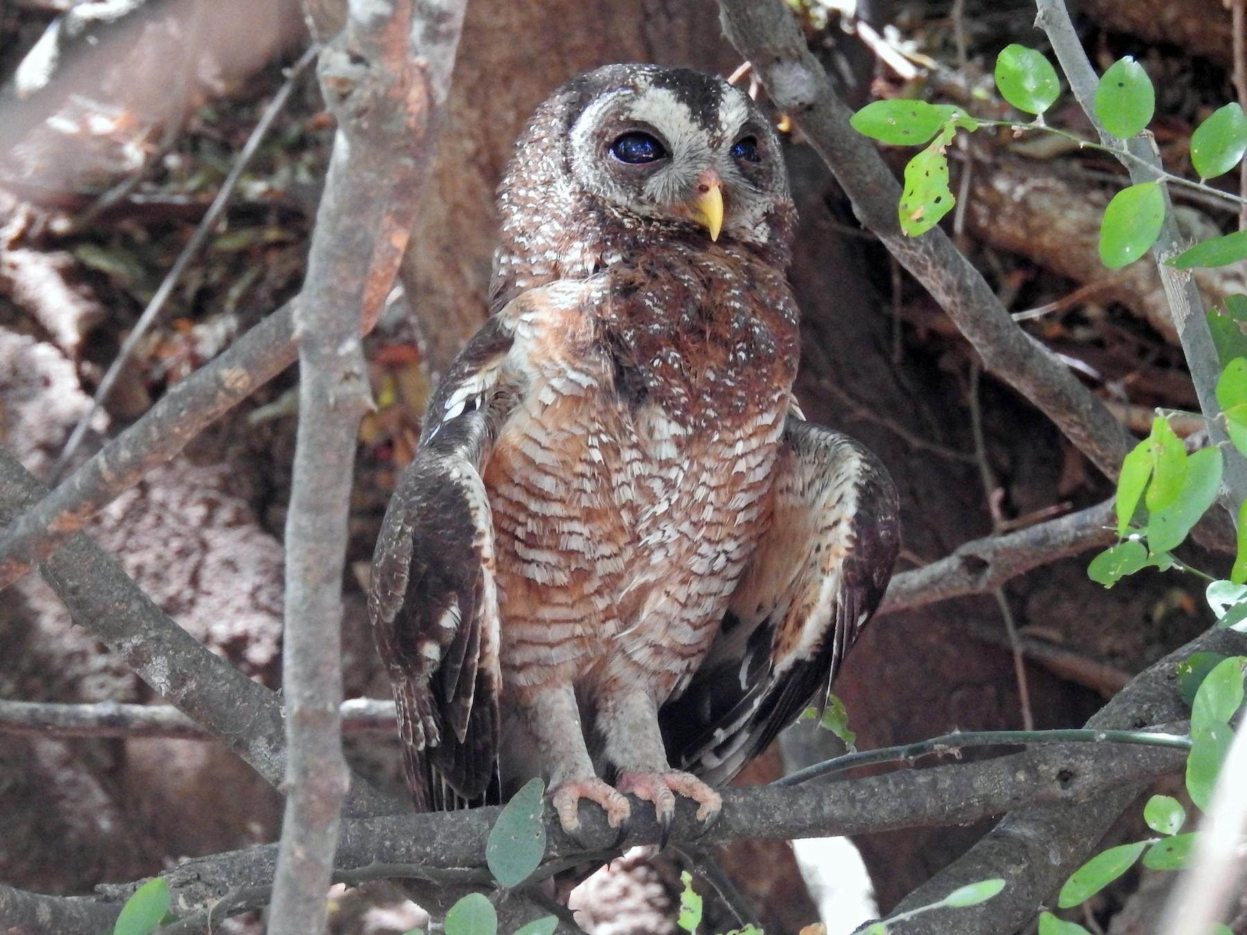 African Wood-Owl - Heidi Ware Carlisle