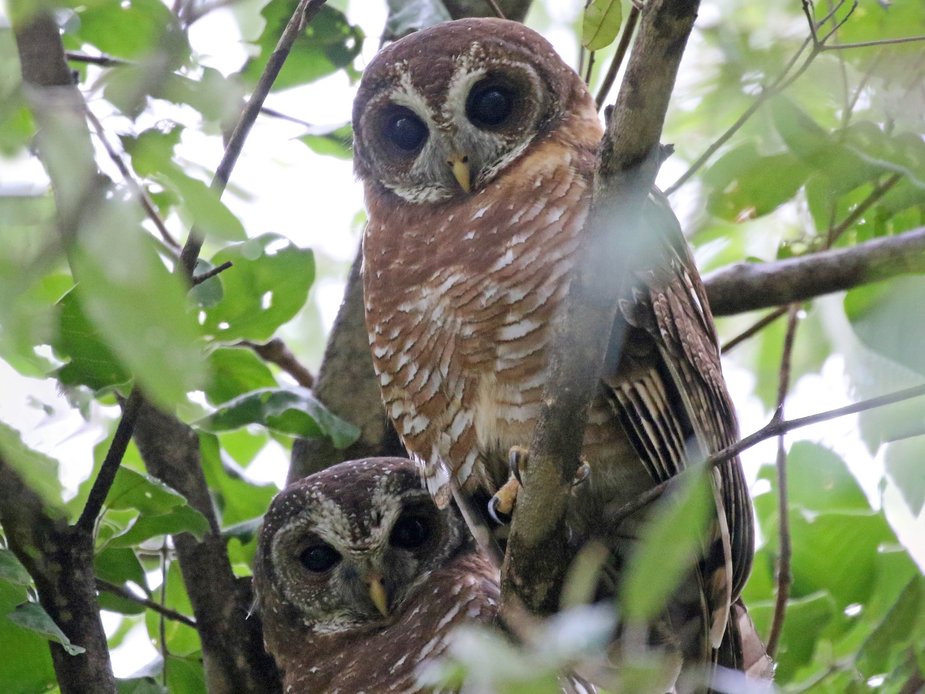African Wood-Owl - Charlotte Byers
