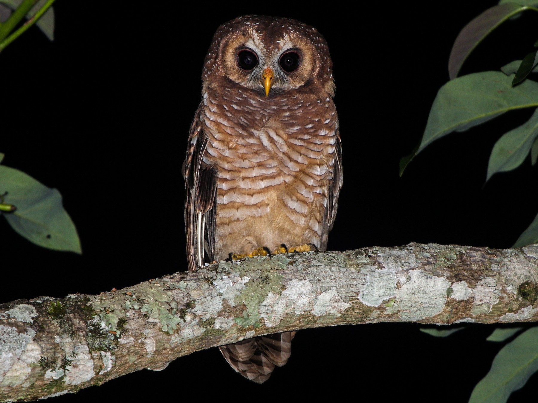 African Wood-Owl - Pam Rasmussen