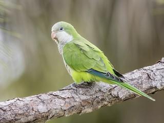 - Monk Parakeet