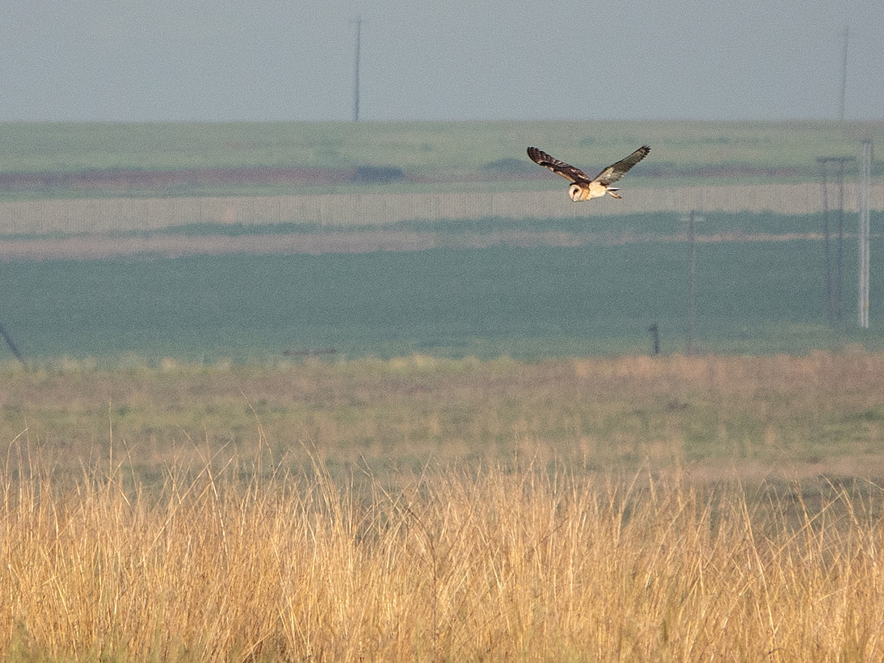 African Grass-Owl - Simon Gorta