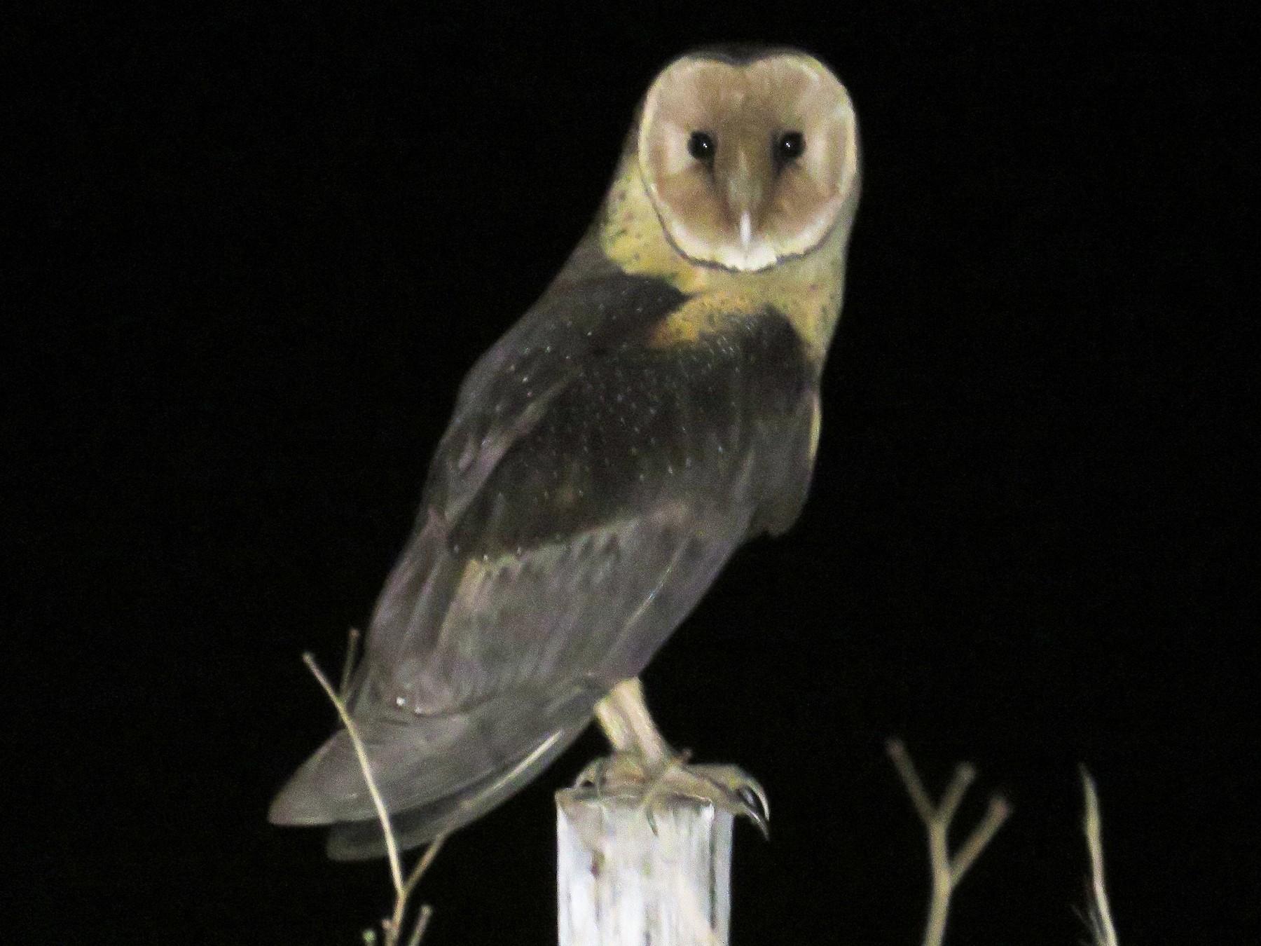 African Grass-Owl - Brad Arthur