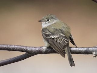 - Least Flycatcher