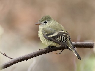 - Hammond's Flycatcher