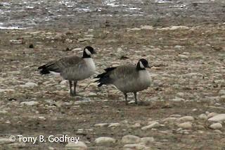 Cackling Goose, ML191580991