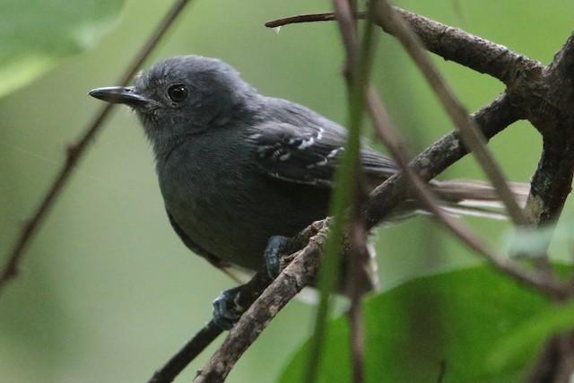 Dusky Antbird