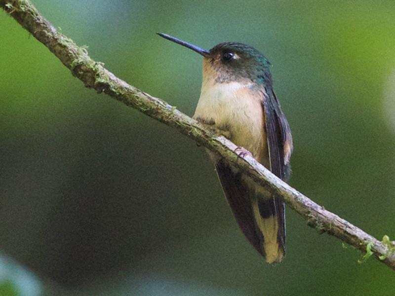 Peruvian Piedtail - Jim DeWitt