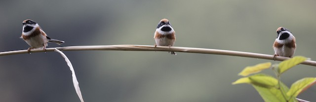 Three Black-throated Tits on a branch.
