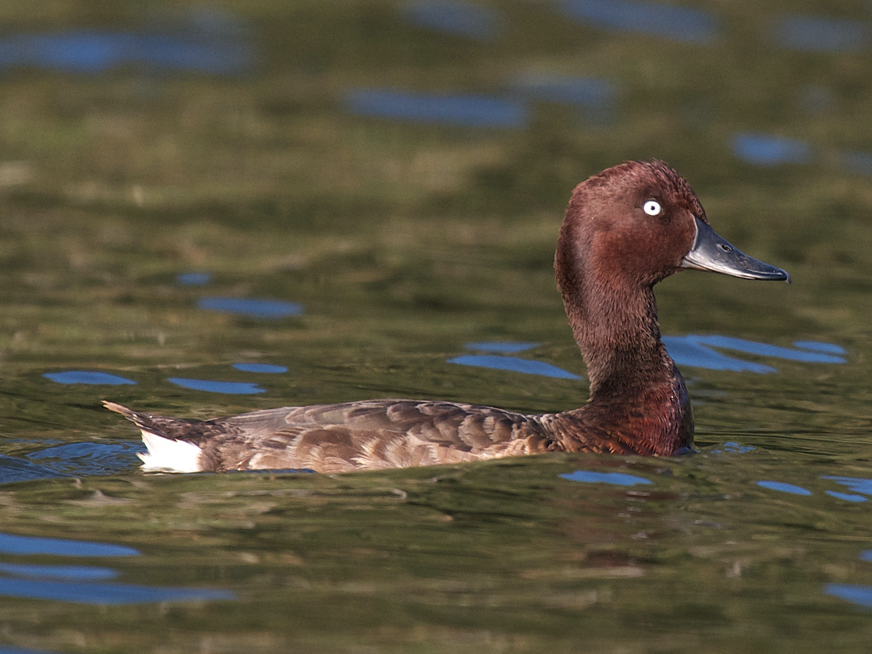 Madagascar Pochard - Robert Tizard